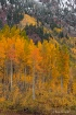Maroon Lake Aspen...