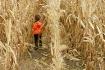Corn Stalker