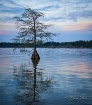 Bald Cypress In t...