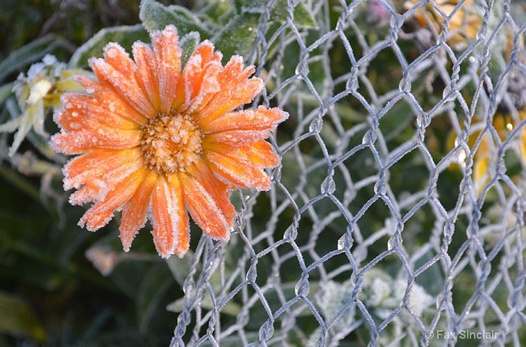 Frozen Flower 2  - ID: 15050131 © Fax Sinclair