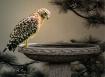 Hawk on Bird Bath