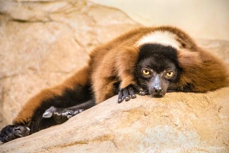 Evil Eye Lemur 12-12-15 082