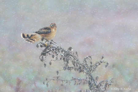 Northern Harrier in the Snow