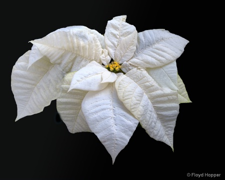 White Star Poinsettia