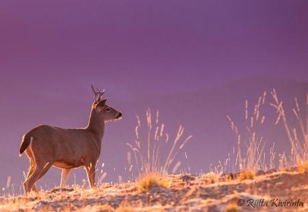 Mule Deer at Sunset