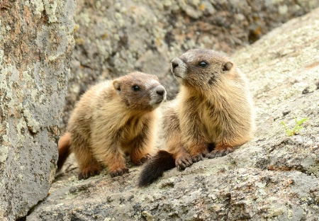 Marmot pups