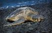 Sun Bathing Turtl...