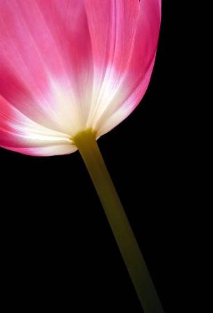 Tulip Luminosity