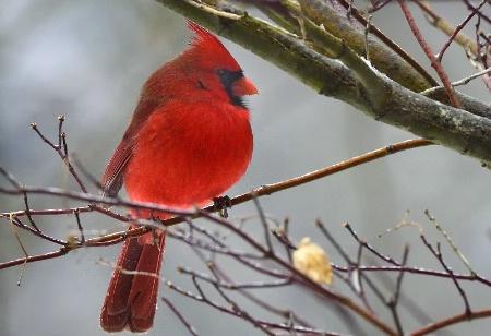 Red Bird, male 2