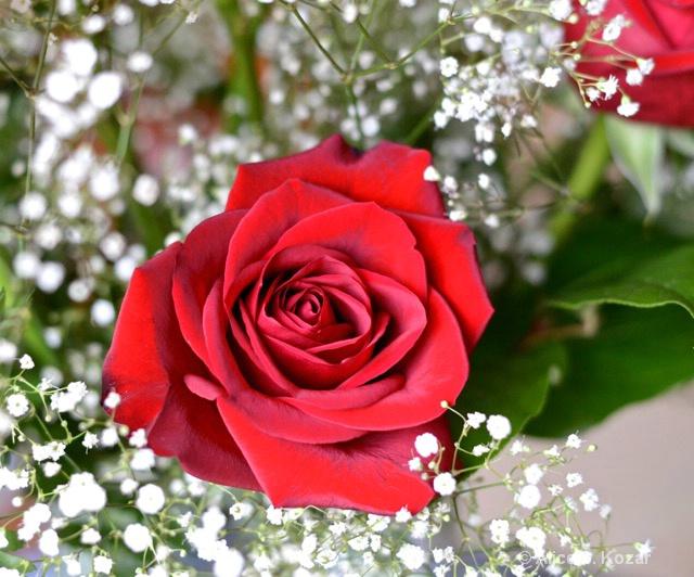 Velvet-Red Valentine's Rose - ID: 15083977 © Alice Kozar