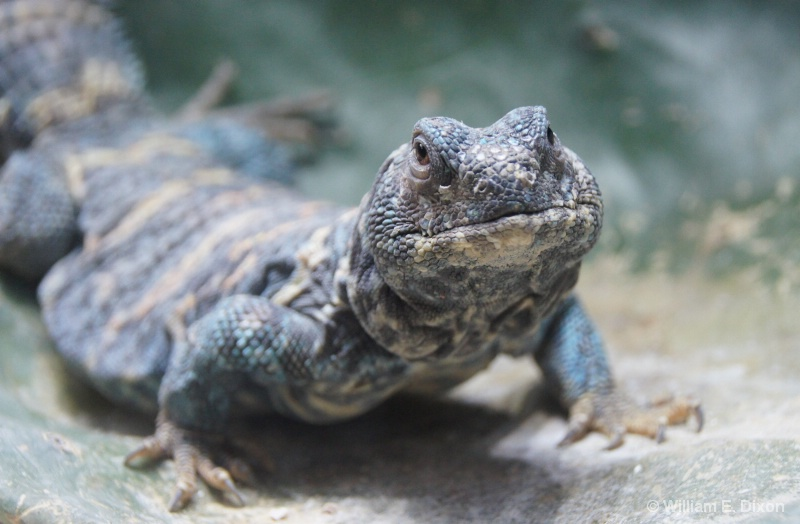 Uromastyx Ornata - ID: 15085942 © William E. Dixon
