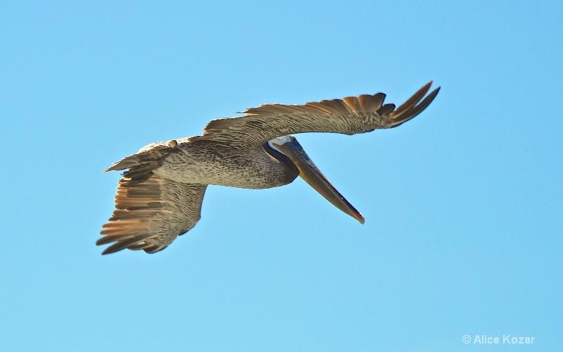 Approaching Landing -  Pelican HMB - ID: 15087490 © Alice Kozar