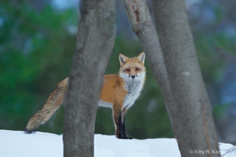 Fox on the Ridge - ID: 15094437 © Kitty R. Kono
