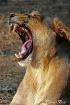 Royal Yawn.