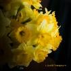 Daffodils on Blac...