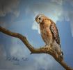 Hawk In The Backy...