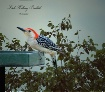 Woodpecker In Bac...