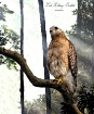 Hawk in the Sunli...