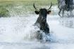 Camargue Bulls Ma...