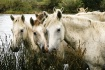 Camargue Horses M...
