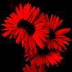 Red Gerberras 1