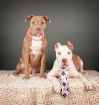 The Pit-Bull coup...