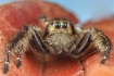 Jumping spider(Hy...