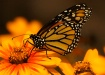 Butterfly in Oran...