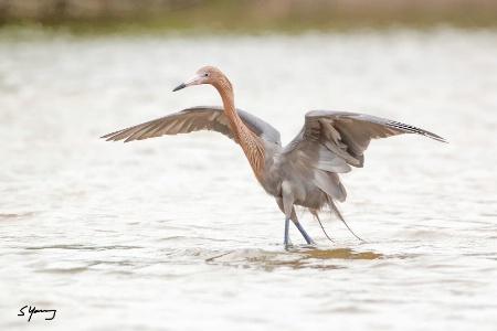 Reddish Egret Wingspread; Ft. DeSoto, FL