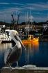 A Foggy Pelican S...