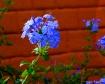 Little Blue Flowe...