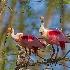 © Kenneth A. Wilson PhotoID# 15128987: Roseate Spoonbills Starting a Nest