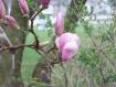 Magnolia Budding