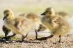Little goslings w...