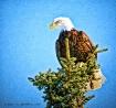 Eagle on Pine Tre...