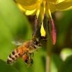 Honey Bee and Tro...