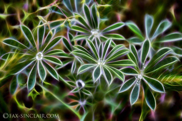 Llupin rain Effects - ID: 15151328 © Fax Sinclair