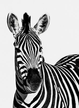 Zebra B&W!