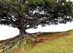 Roots of Oahu
