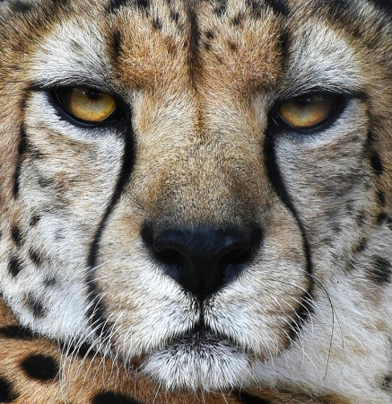 Face Of The Cheetah
