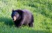 Spring Bear -- Pa...