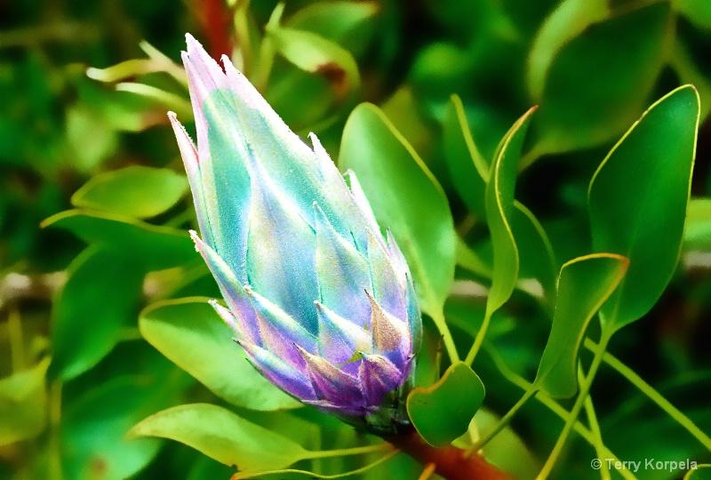 Taken at Kula Botanical Garden, Maui - ID: 15156651 © Terry Korpela
