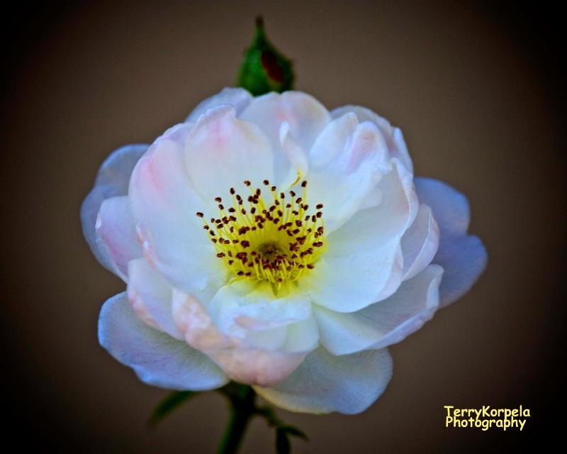 A Nice Rose - ID: 15157152 © Terry Korpela