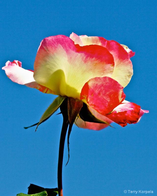 Rose - ID: 15159589 © Terry Korpela