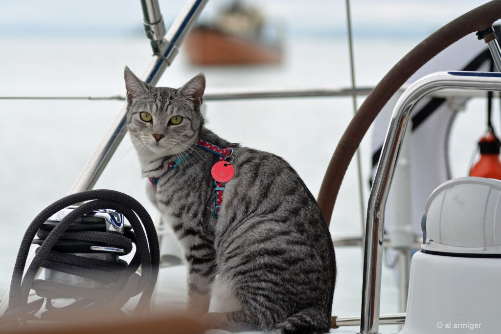 'Steelo' the sailing cat DSC 6728  - ID: 15165817 © al armiger