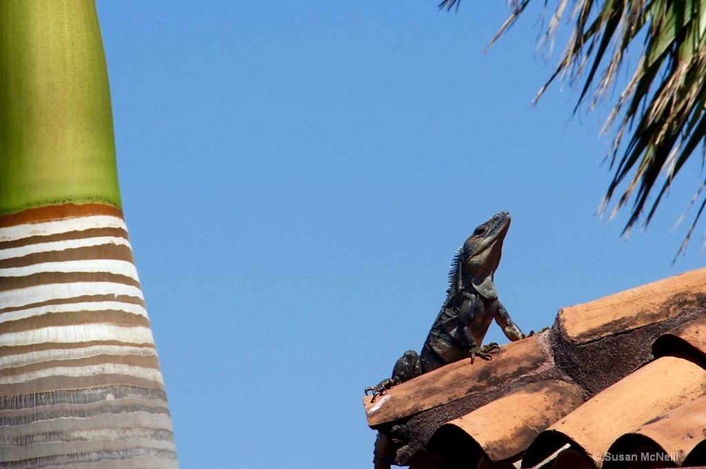 Iguana on Roof - ID: 15166755 © Susan McNeill