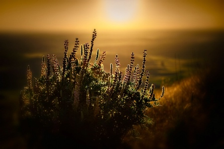 Lupines at Sunset