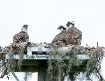 Osprey Babies