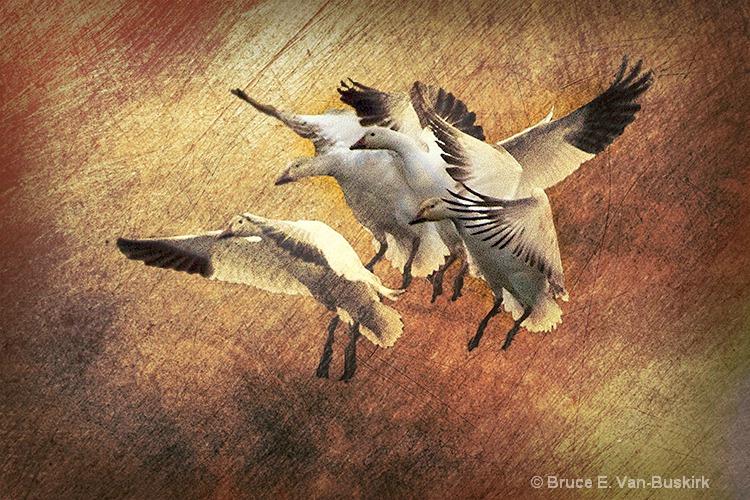 texture added to landing geese - ID: 15172377 © Bruce E. Van-Buskirk