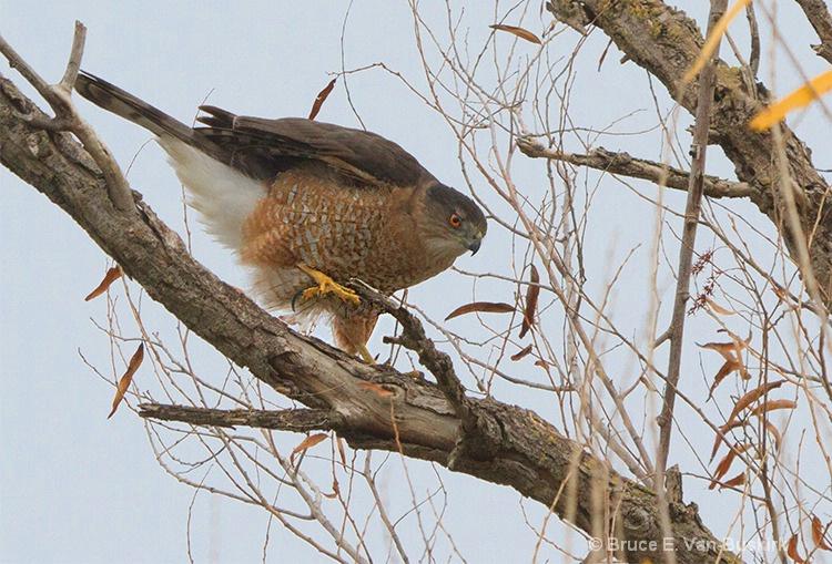 Female Harris hawk in Sacramento Wildlife reserve - ID: 15172380 © Bruce E. Van-Buskirk
